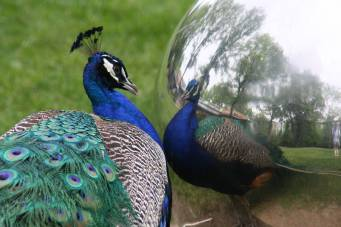 Narcissistic Peacock